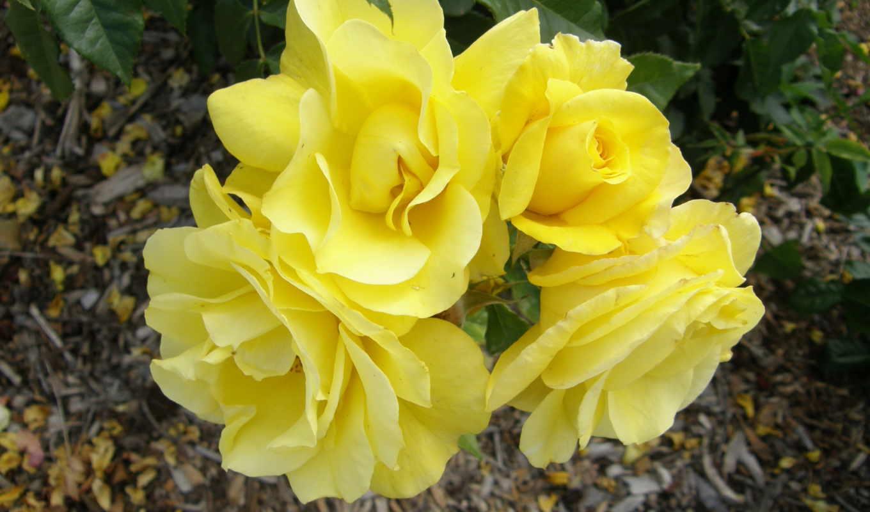 цветы, yellow, розы, розовый,