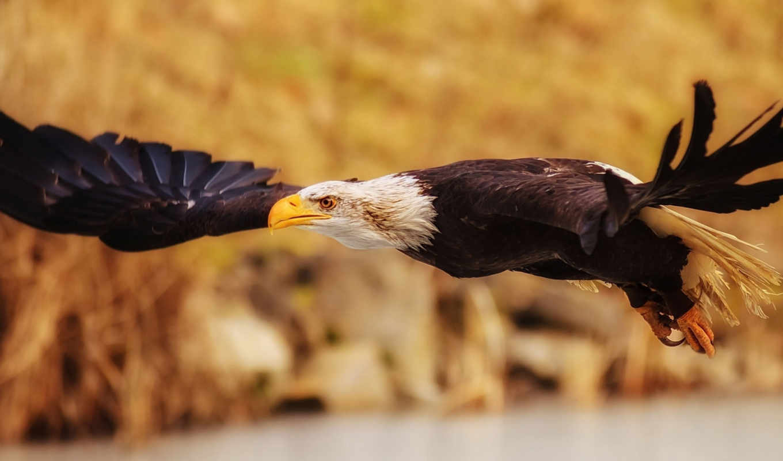 птицы, птица, крылья, орлан, полет,