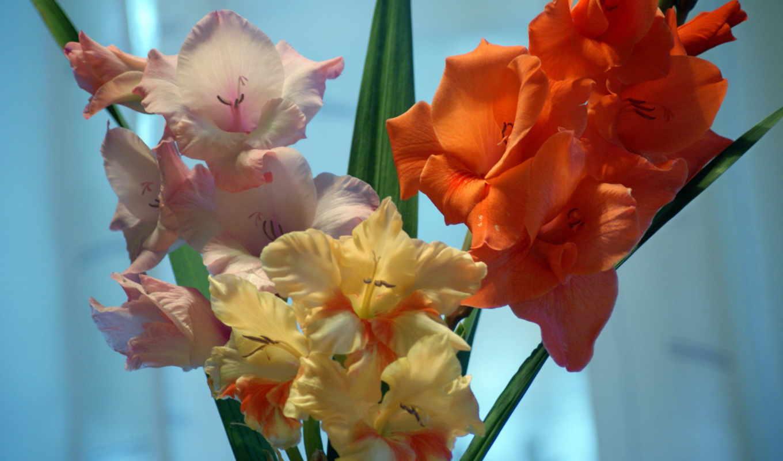 цветы, гладиолусы, фиолетовый,
