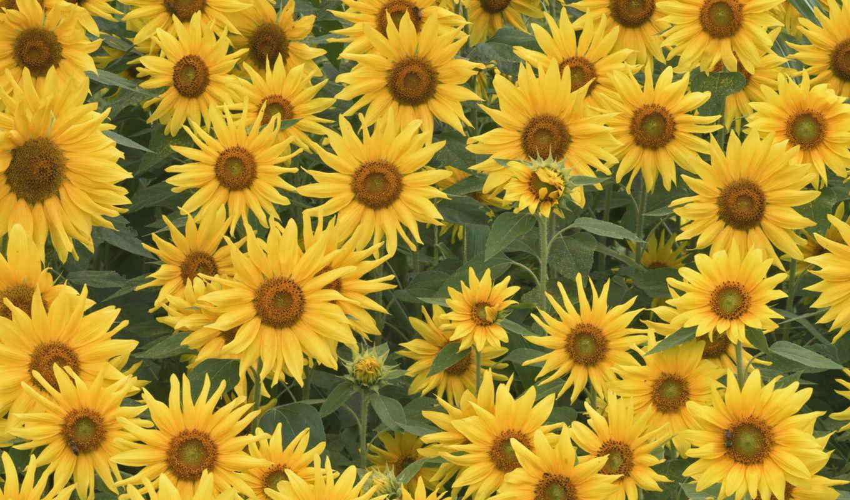 подсолнухи, поле, обои, цветы, фото, лето, почта,