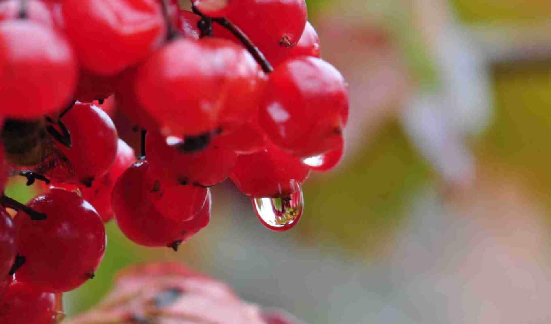 калина, природа, капли, ягода, картинка,