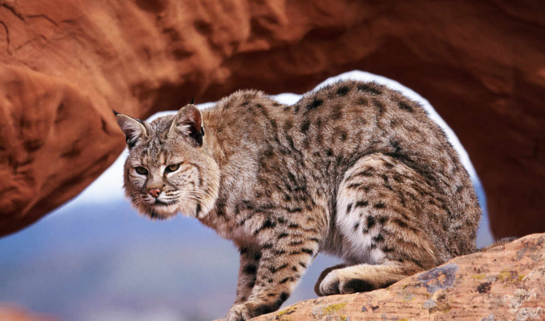 кошки, дикие, животные, нов, lion, животных,
