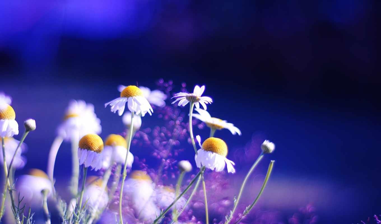 цветы, природа, ромашки, растительность, яркие,