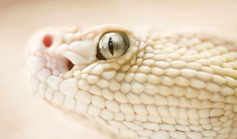snake, белая, zhivotnye, заставки, дек, морда,