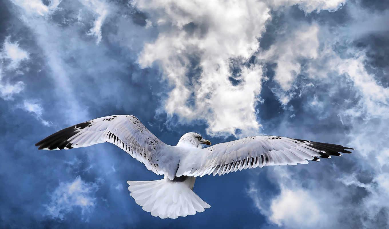 птица, полет, полете, небо, гордая, чайка, крылья, рисунки,