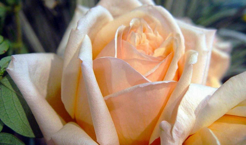 розовая, роза, нежно, цветы, нигина, амонкулова,