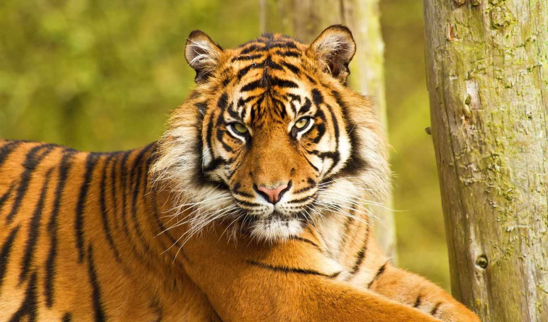 тигр, недовольный, морда, лежит, картинка, картинку, животные, бесплатные, вертикали, горизонтали, имеет, тигры,