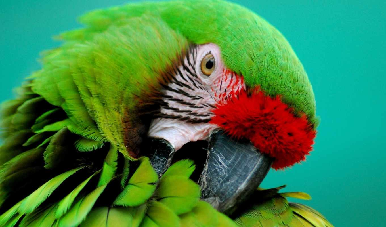 попугаи, птицы, часть, попугай,