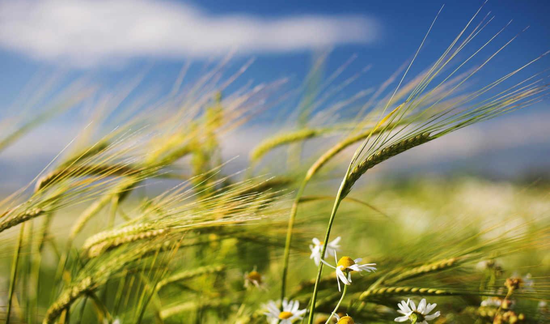 ,лето, трава, колоски,ромашки, небо,