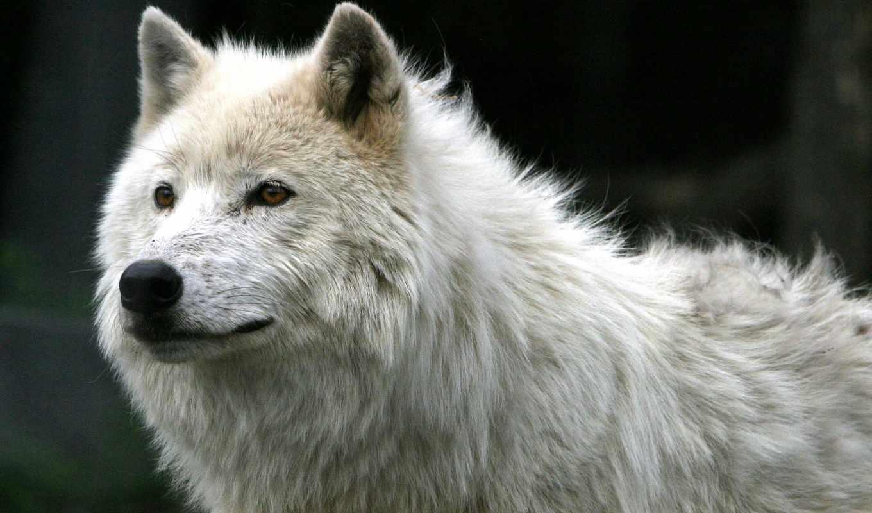 волки, волк, волков, korpiklaani,