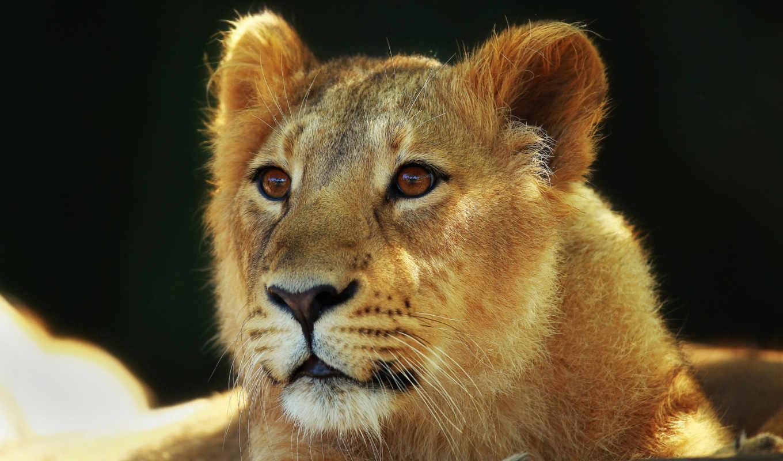 детёныш, кот, lion, взгляд, морда, большая,