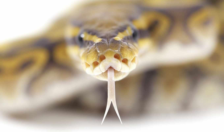 snake, голова, глаза, взгляд, ipad,
