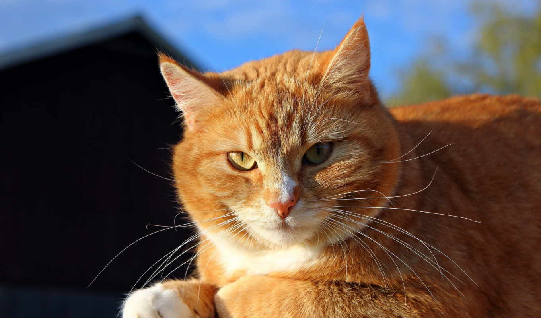 red, кот, яndex, солнышке, наглый, борзый,