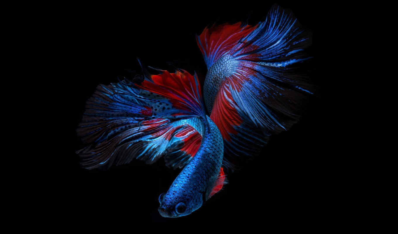 fish, red, blue, black, betta, сиамский, бой, splenden