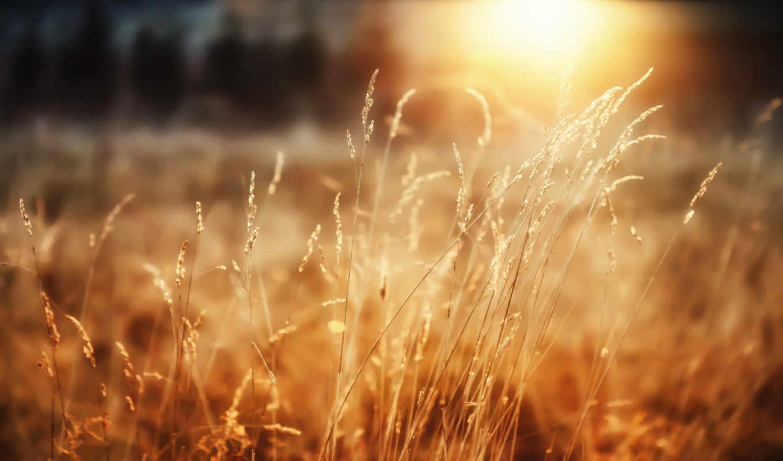 morning, sunshine, трава, природа, солнце, макро, desktop, good, радость, лес, пшеница, лучи, растение,