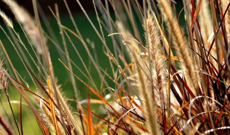 природа, серьги, планом, крупным, поля, колосья, цветы,