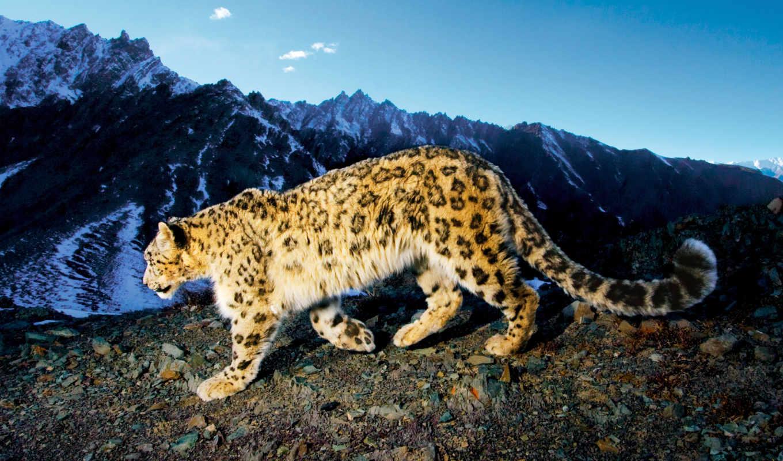 леопард, снег,
