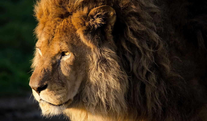 lion, грива, морда, взгляд, хищник, лео, panthera,