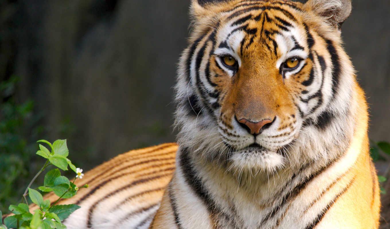 тигр, panther, леопард, jaguar, lion, представителей, рода, четырёх, кошкам, большим, относятся,