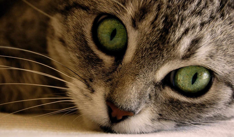 глазами, кот, зелёными, кошек, кошки, котенок, большими, породы, ли,