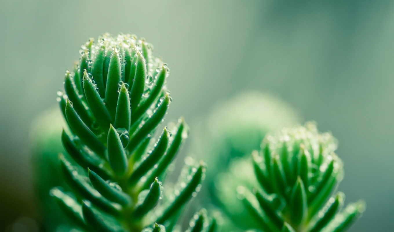 ,, зеленый, canadian fir, balsam fir, shortleaf black spruce, растительность, макросъемка, лист, ботаника,