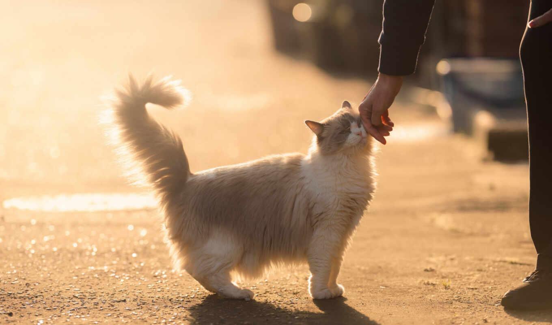 ragdoll, кот, рука, тематика, weasel, картинка, blue