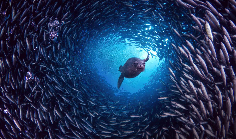 под, водой, рыб, тюлень, among, плавающий, косяк, косяка, рыбы, zhivotnye, akela,