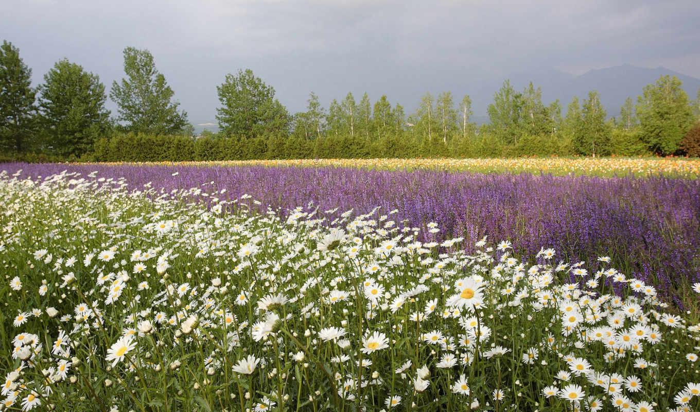 поле, цветы, ромашки, маки, summer, разделе, деревя, природа,