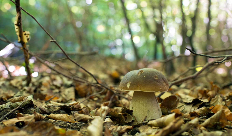 осень, природа, лес, гриб, фото,