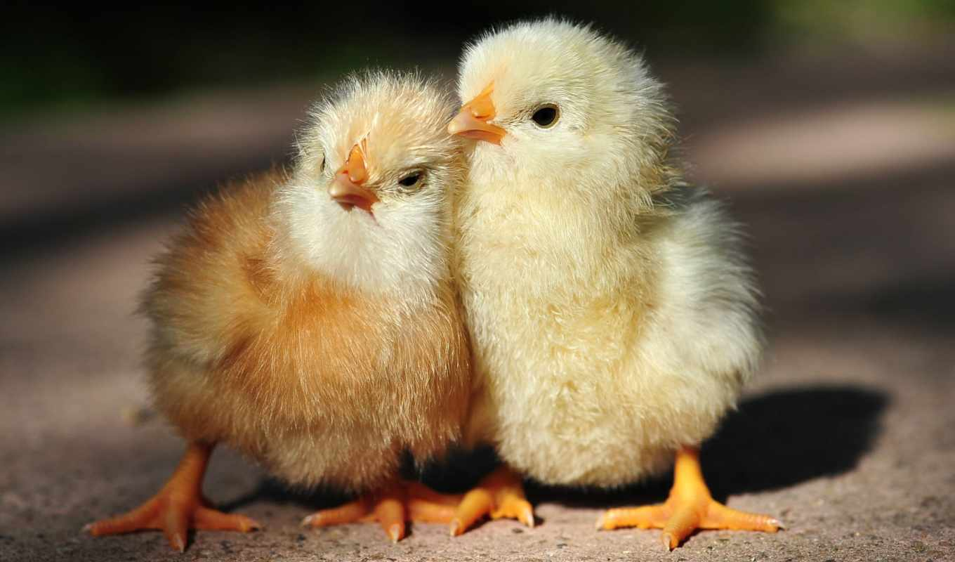 цыпочка, cute, курица, chicks, desktop, девушка, bunny, free,