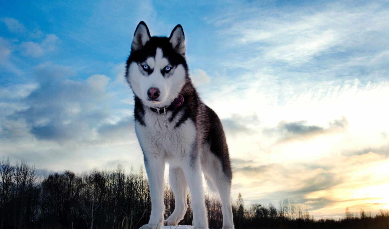 хаски, собаки, собак, собака, порода, но,