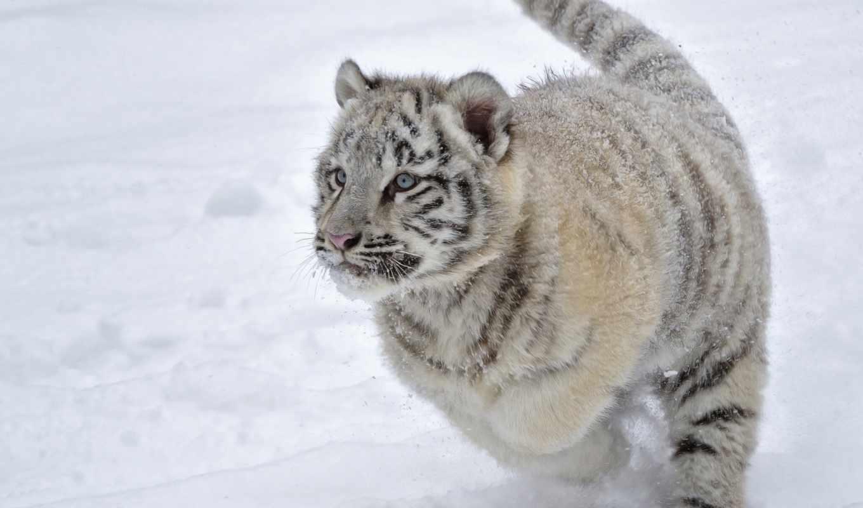 тигр, winter, снег, детёныш, кот, хищник, обезьяна, дикая, white,