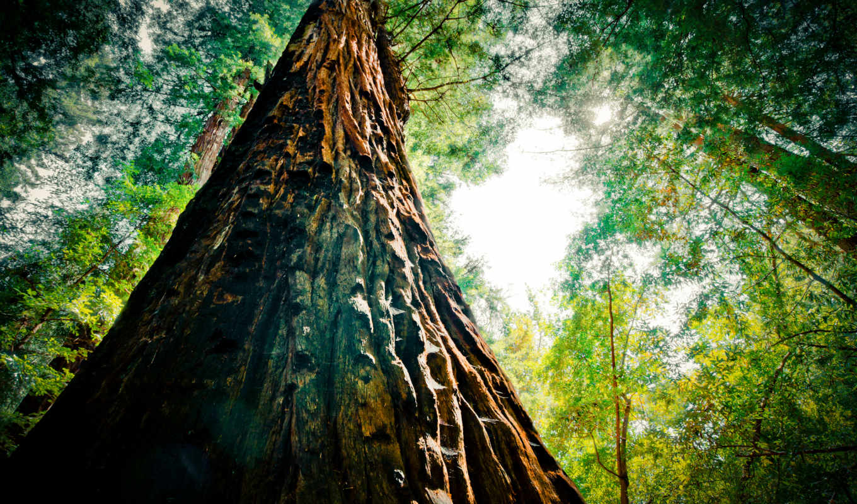 orman, nature, manzara, tree, гигант, resimleri, green, download, ipad, iphone, trees, forest, redwood, depositfiles, high, pack, resimi, часть, manzarası, galaxy,