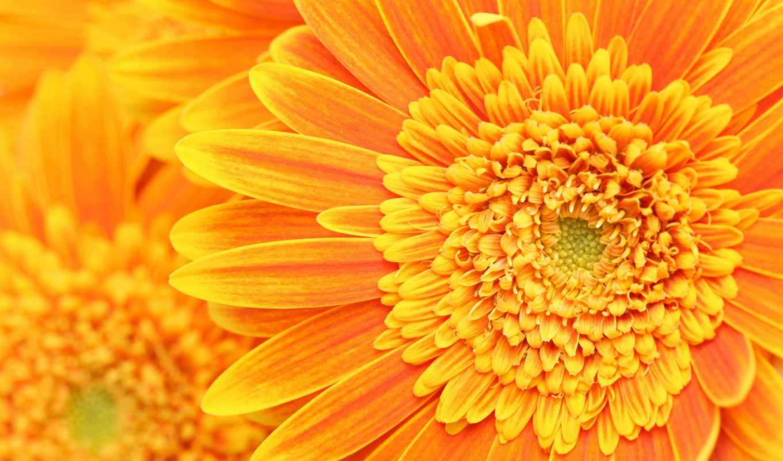 оранжевый, цветы, лепестки, макро,