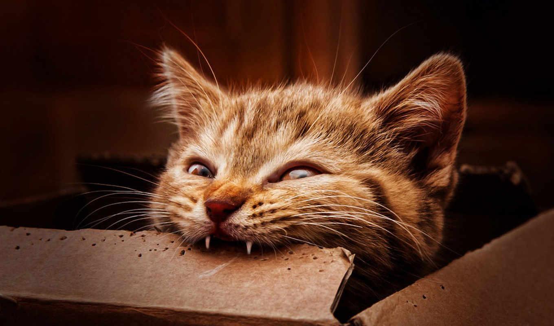 kot, зубы, котенок, грызет, рыжий,