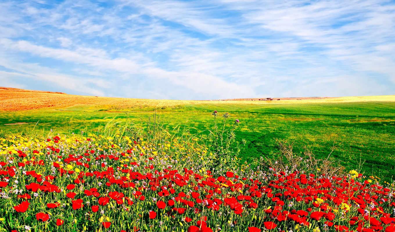 pole, маки, cvety, маков, небо, засеянное, фотообои, поле, priroda, июня, flowers,