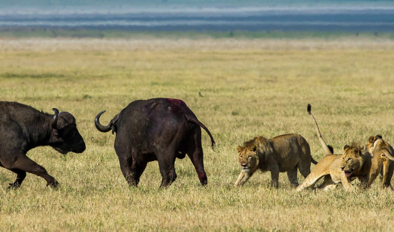 lions, hunting, буйволы, буйвол, pictures,