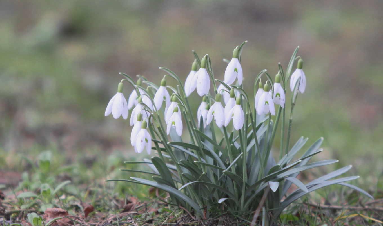 подснежники, цветы, весна, белые,