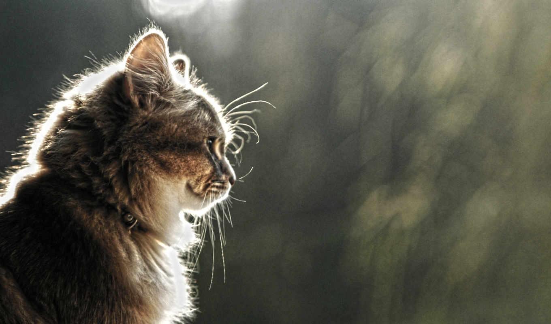 кот, взгляд, cat, кошка, коричневый, ringtone, miaw, профиль, or, ошейник, красивый, улыбка, wallpaper, blog, hd, download,
