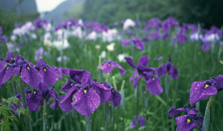 капли, фиолетовые, цветы, картинка, зелень, ирисы, сад, дождь, япония, картинку,