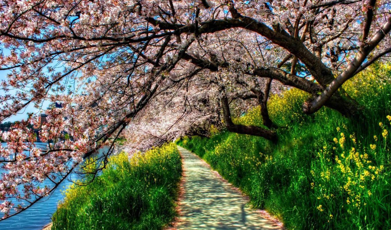Сакура, цветущая,