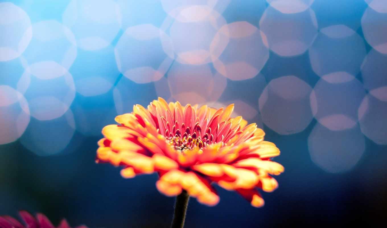 цветы, flowers, фон, гербера