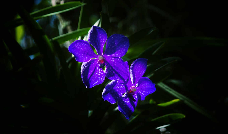 цветы, фиолетовый, орхидеи,