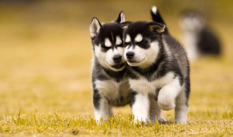 хаски, щенки, мб, intel, собаки, два, газон, нов,