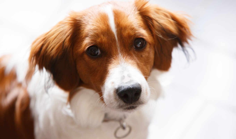 собаки, zhivotnye, собака, морда, картинка,