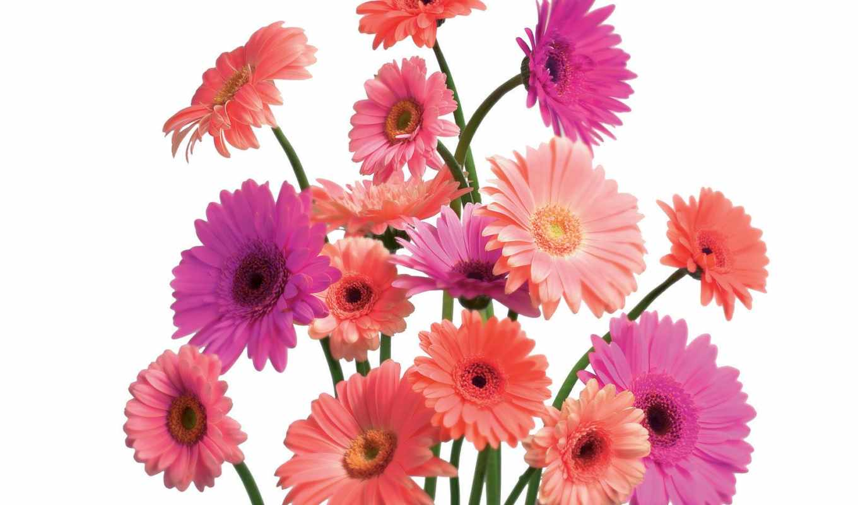 gerbera, daisy, you, гербера, герберы, free,