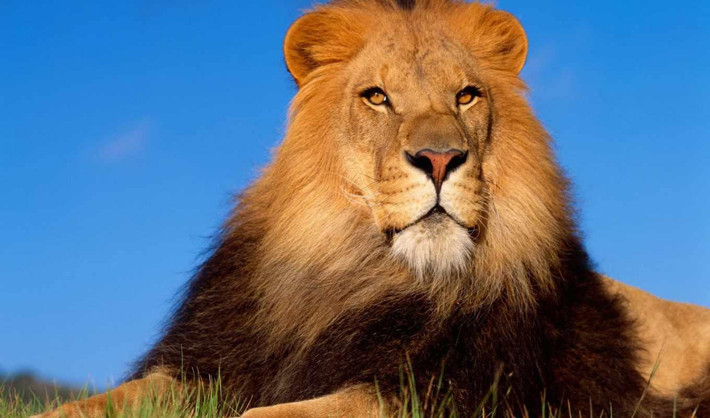 lion, львы, зевающий, рычит, льва, заставки, продолжительность,
