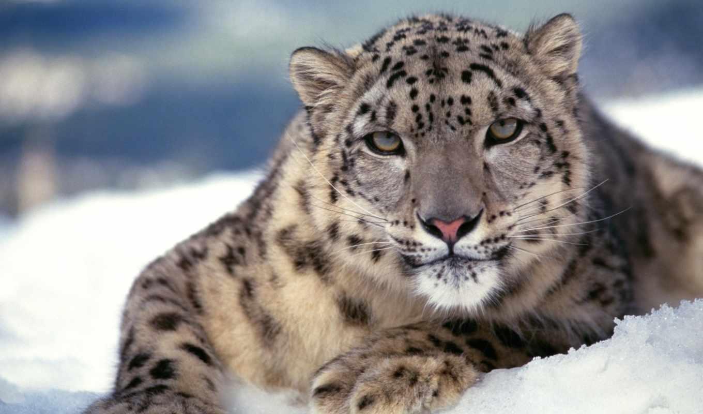 snow, leopard, кошка, хищник, www, zhivotnye, картинка, gdefon, kartinka, wildlife, zveri, download, high, oboi, you,