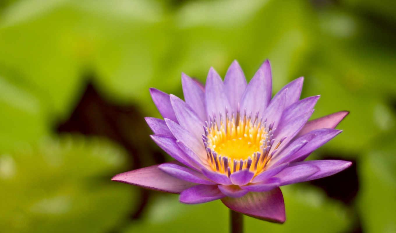 цветок, красиво, растения, картинка, фиолетовый, лилия, download, cerulean, desktop, nymph, waterlily, purple, листья, трава, save, click, resolution, лотоса,