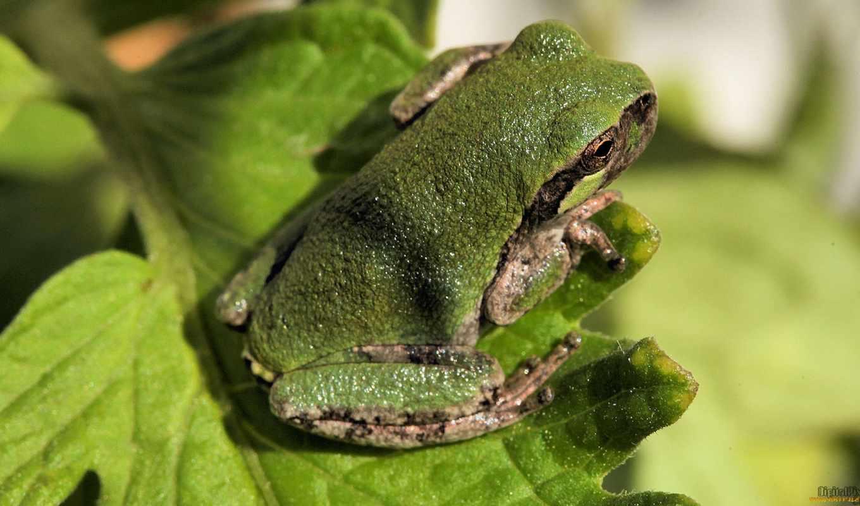 frog, green, leaf, лягушка,квака,жабка,зеленая,